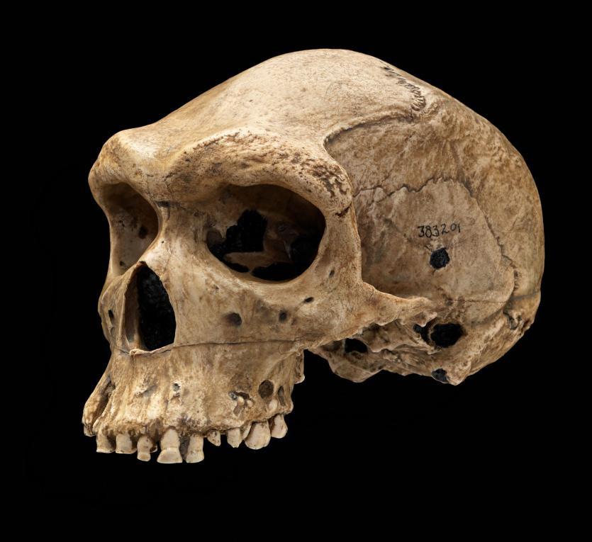 Broken Hill 1 Skull
