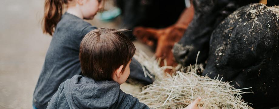 hooi voor de Angus runderen