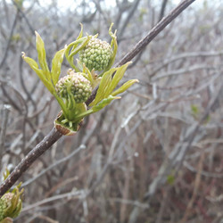 bourgeons floraux de sureau