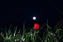 Flower in the night moon