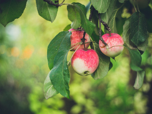 Grafting and Growing Apple Trees