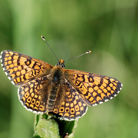 Tickenham Court butterfly