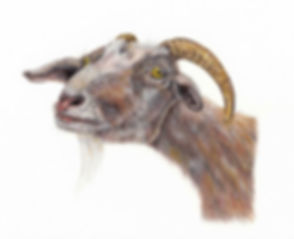 Goat-cleaned-for-the-web_edited.jpg
