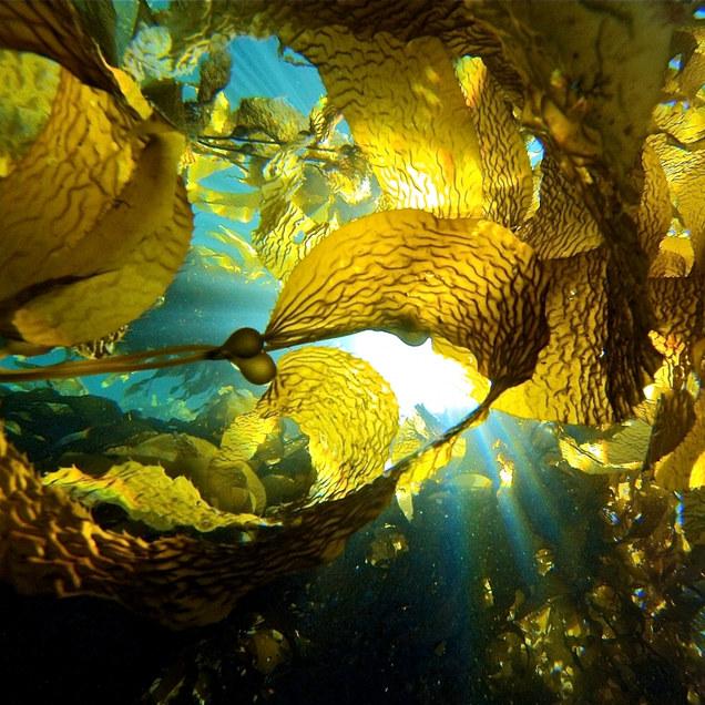 Microbiome of giant kelp (Macrocystis pyrifera)