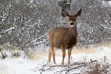 Winter Deer