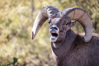 Big Horn Sheep braying