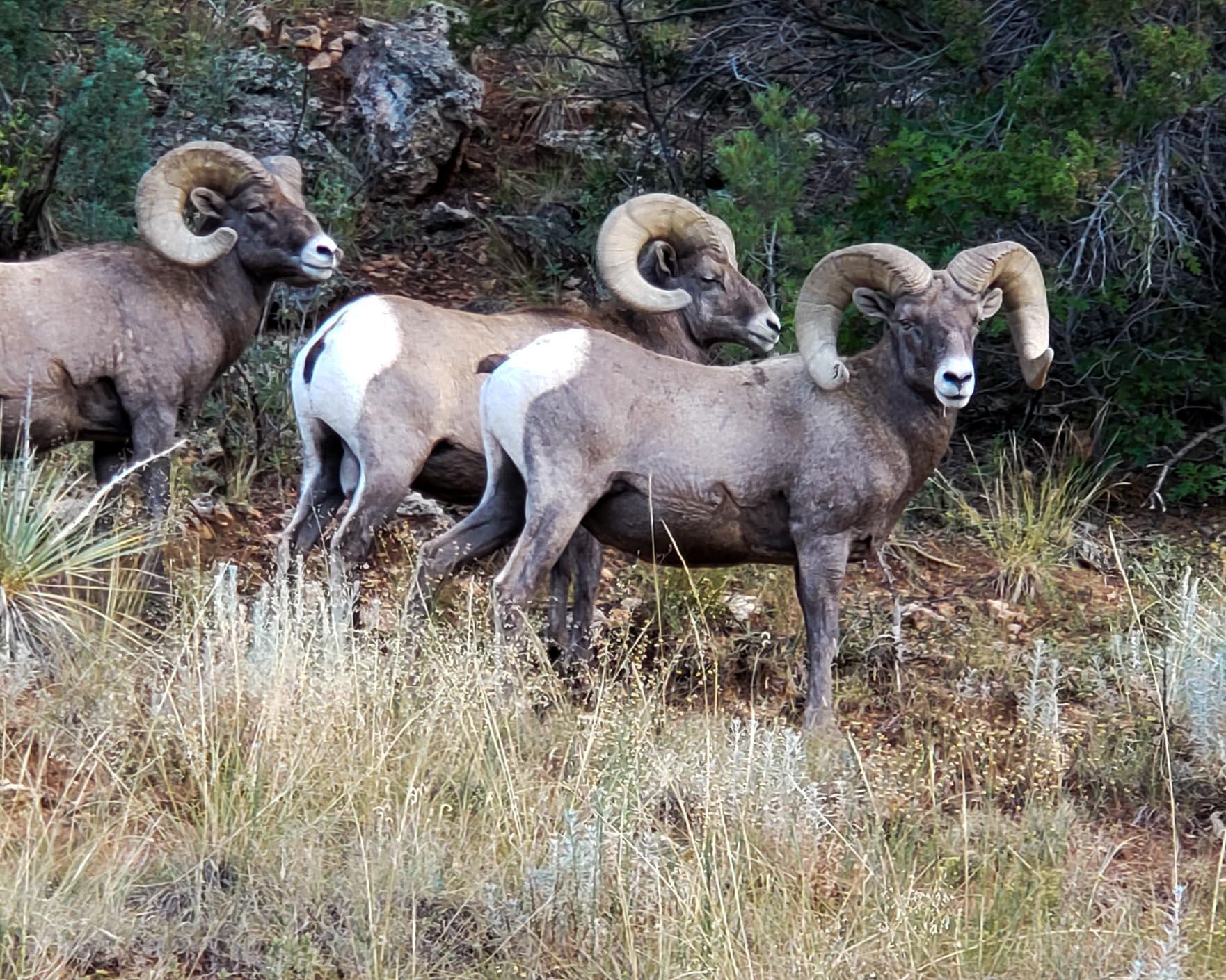 Bighorn Sheep Prowl