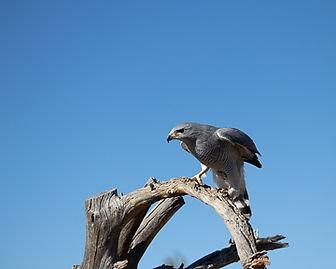 Gray Hawk-W.jpg