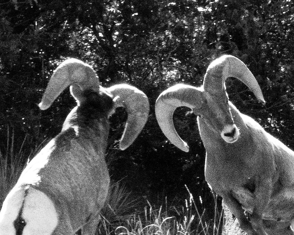 Two Bighorn rams about to butt heads.