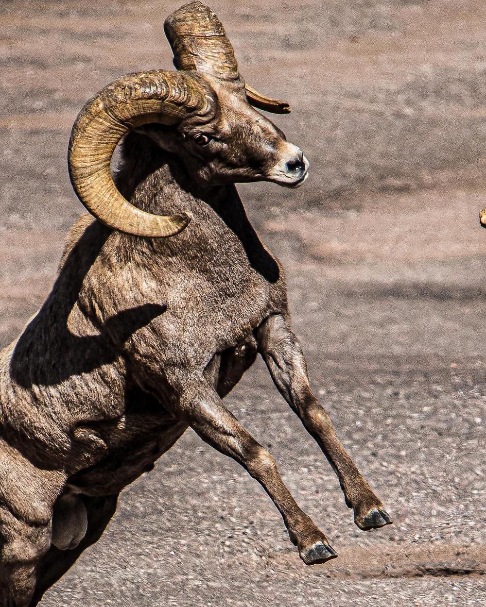 Bighorn ram rears up on hind legs.