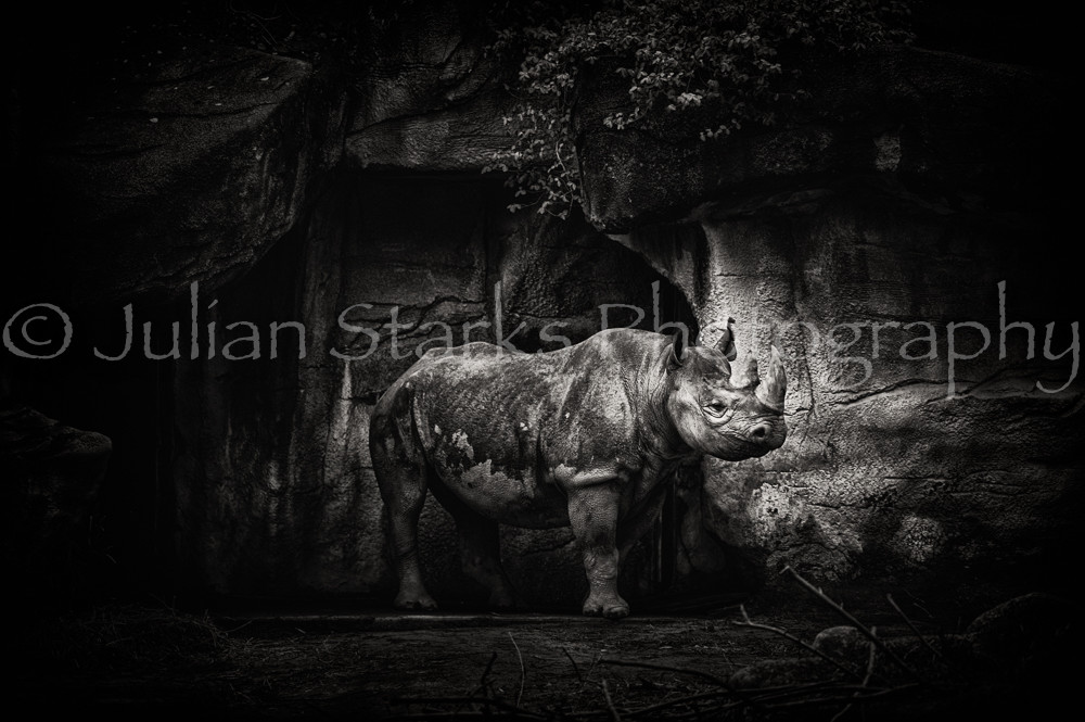 Rhinoceros BW Julian Starks Photography