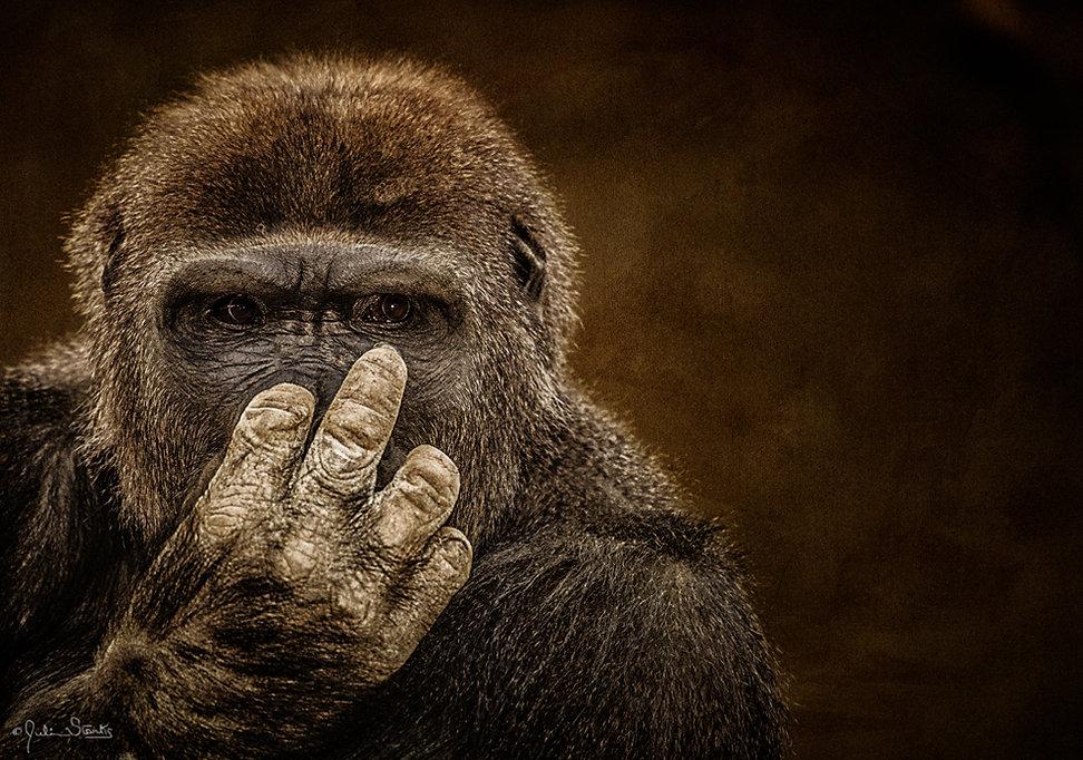 FEMALE GORILLA_Julian Starks Photography