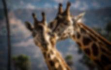 Giraffe CA
