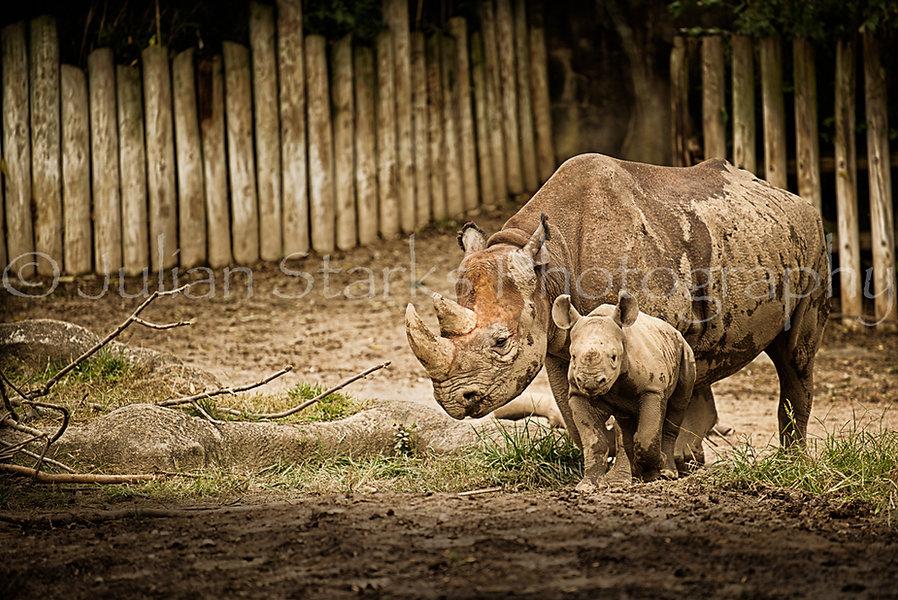 Rhinoceros Julian Starks Photography
