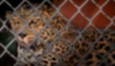 LeopardJulian Starks Photography