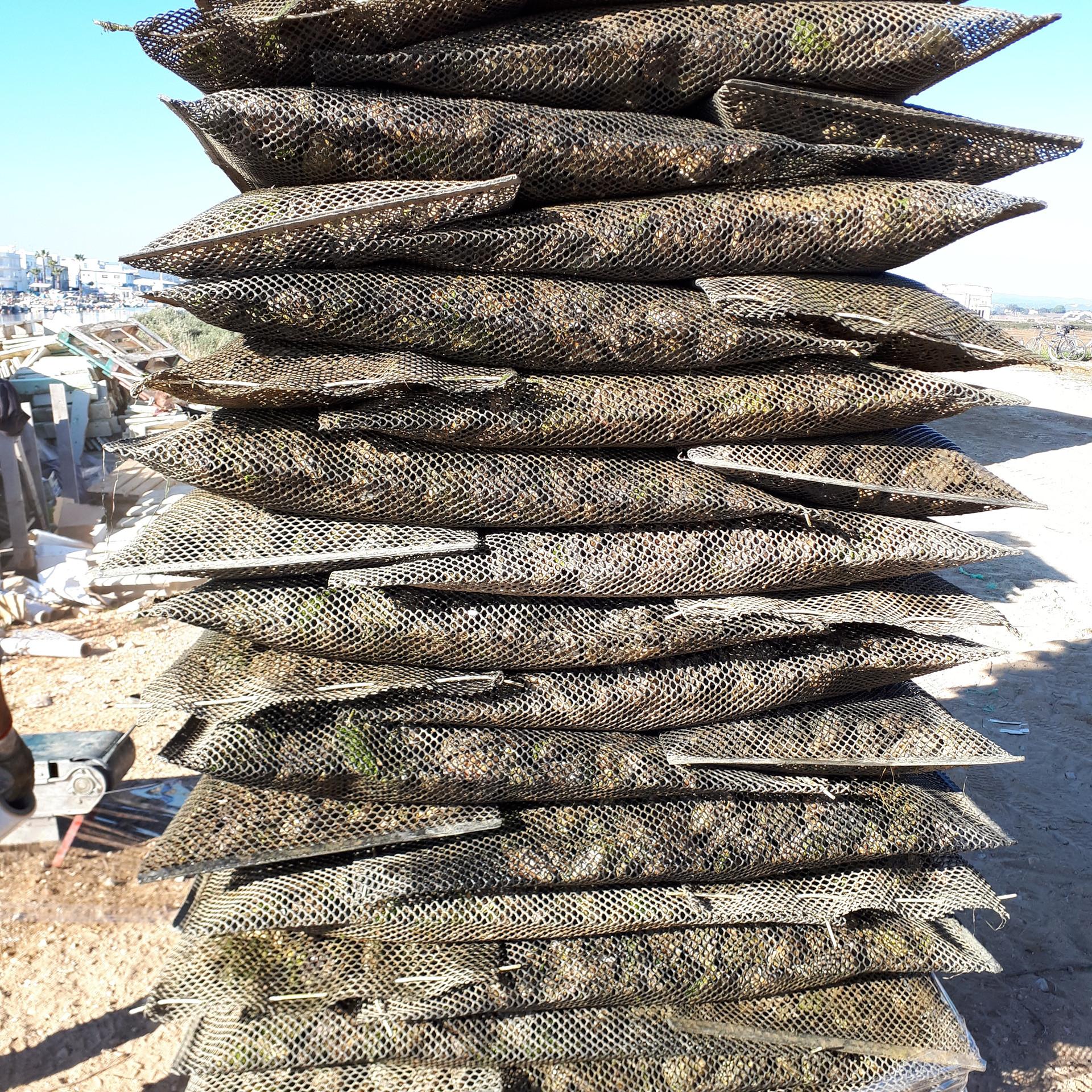 Austern, in Portugal billiger und schneller gereift als in Frankreich, Fuseta