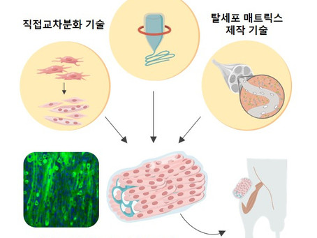 В Южной Корее разработали искусственные мышцы, помогающие восстанавливать кровеносные сосуды и нервы