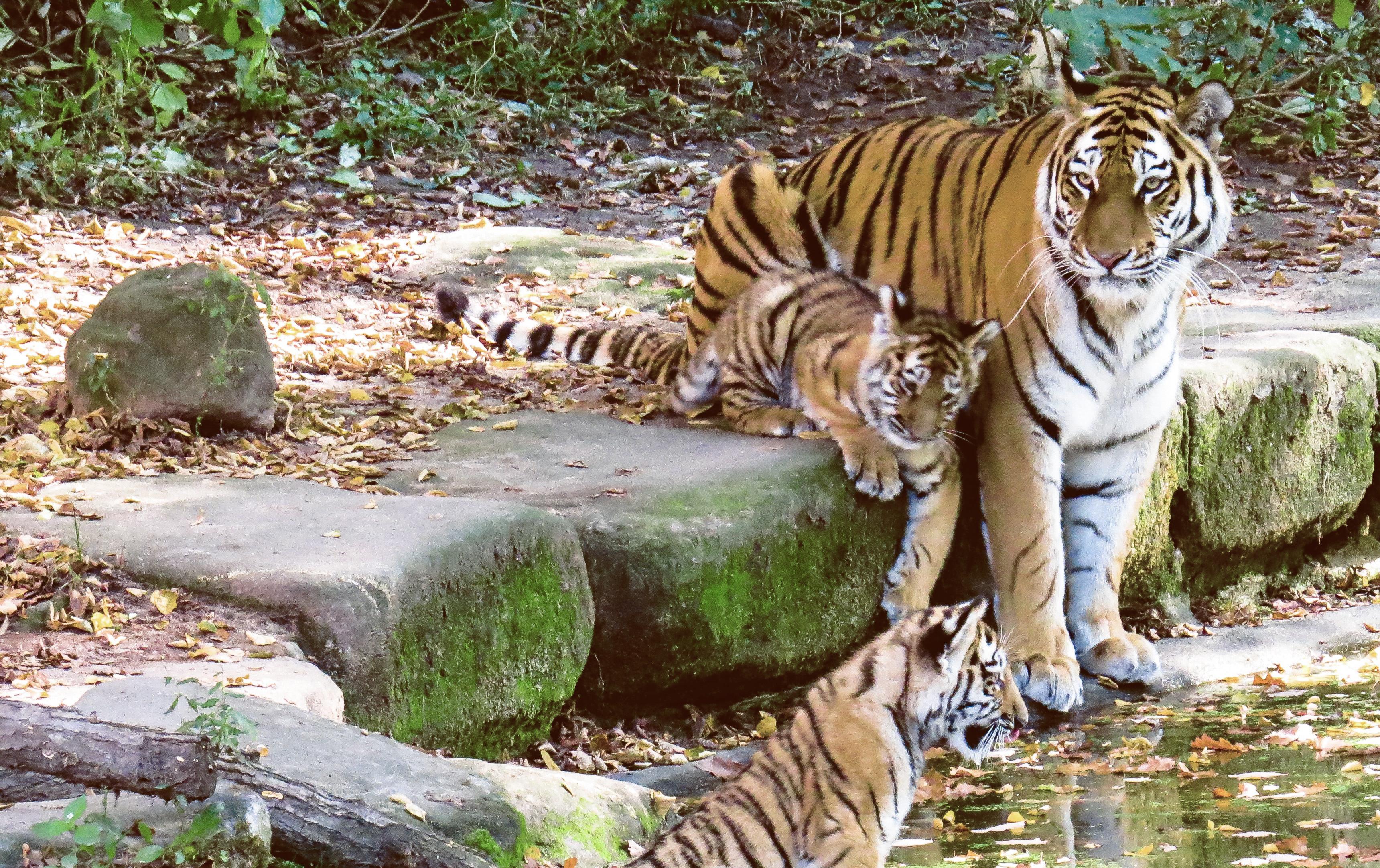 Tigress and Cubs