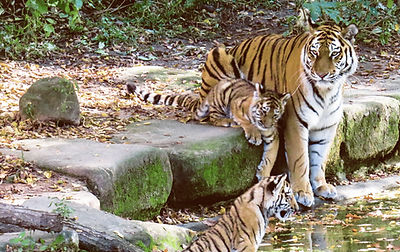Tigresse et Cubs