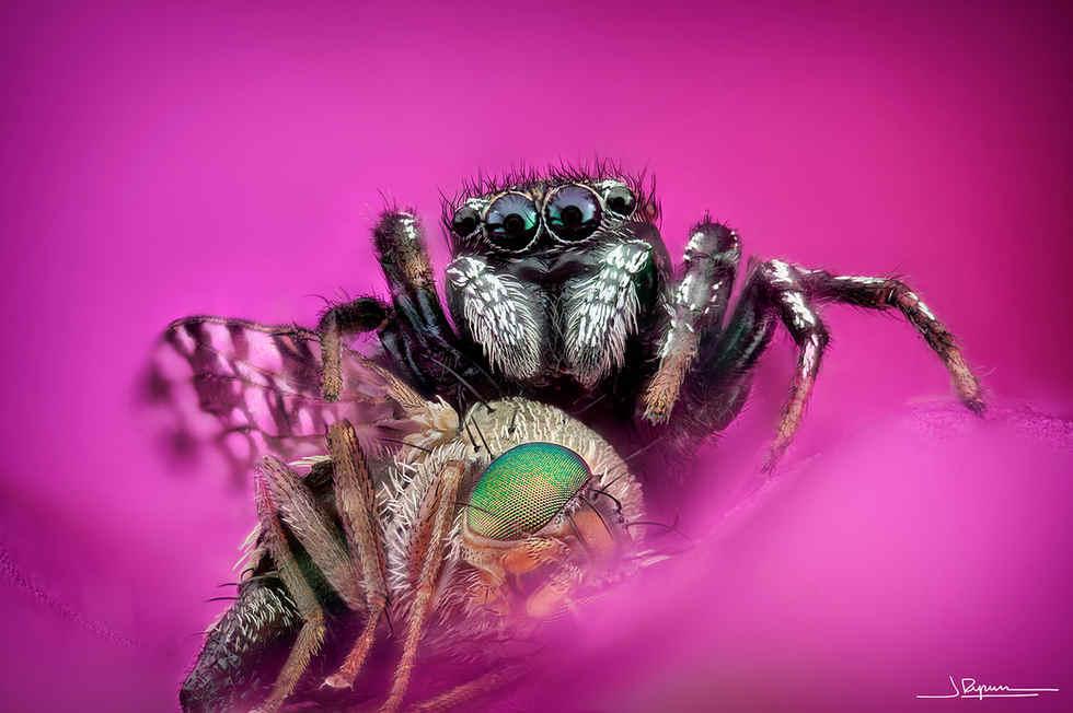 araña vs. mosca