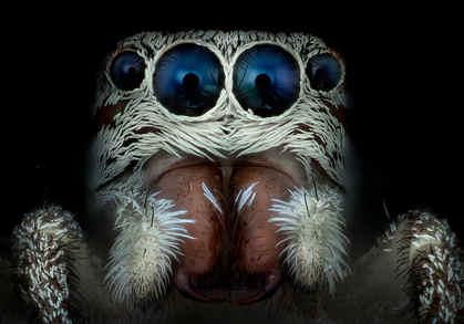 araña saltarina de pelo blanco 8x