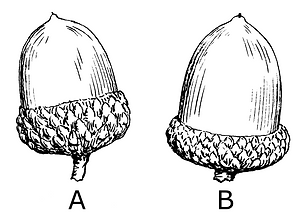 Acorn_(PSF).png
