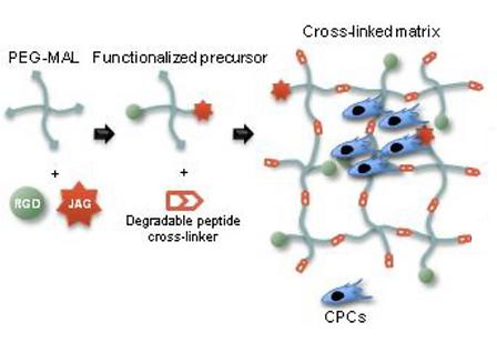 PEG-MAL gels.png