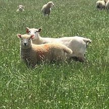 shimpling-farm-lavenham-the-art-of-meat