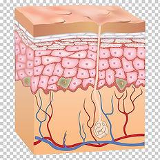 epidermis-human-skin-anatomy-skin.jpg