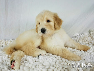 apricot F1bb Labradoodle puppy