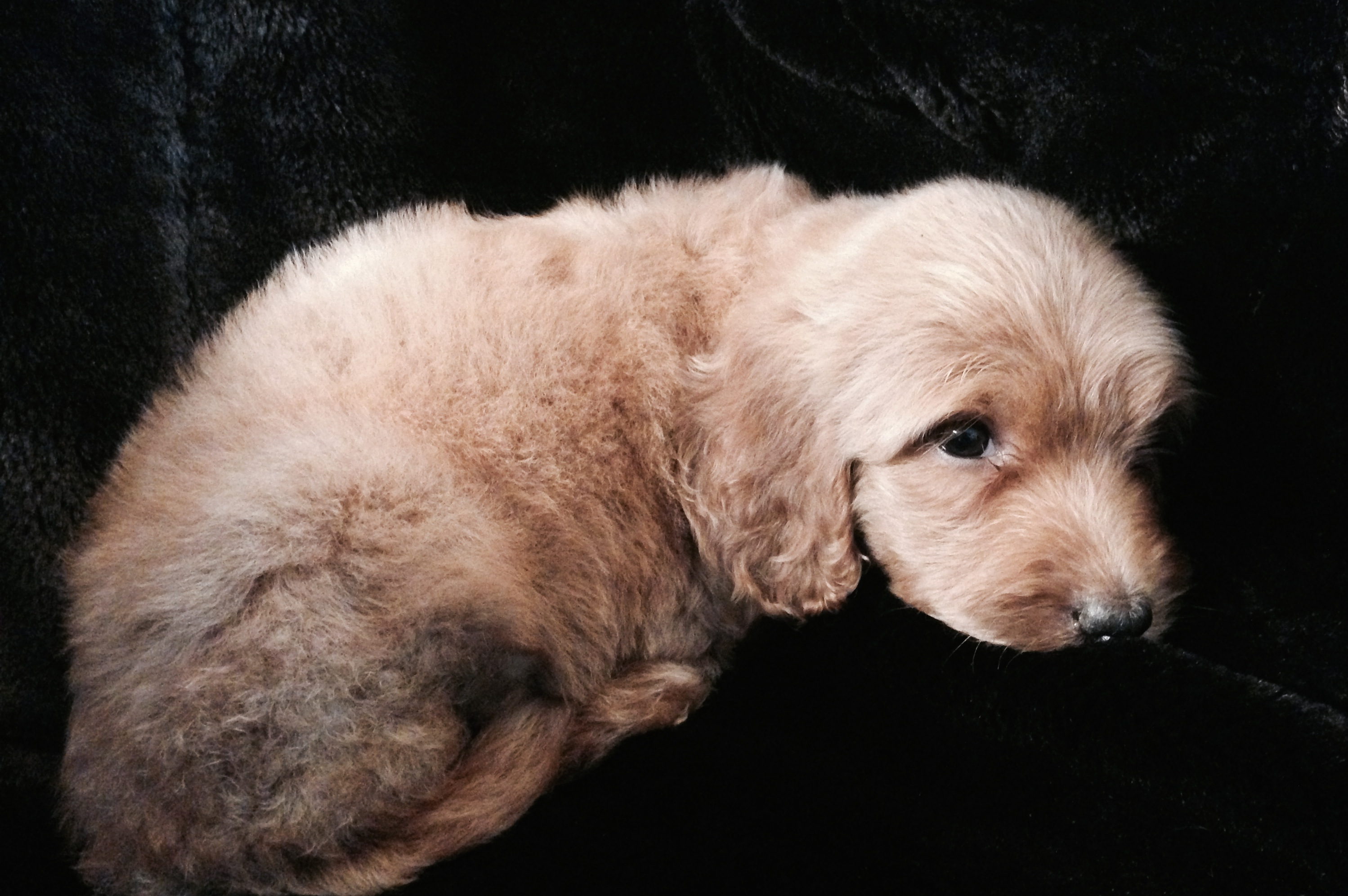 Labradoodle puppies for sale, San Antonio Tx Dandy Doodles and Poodles