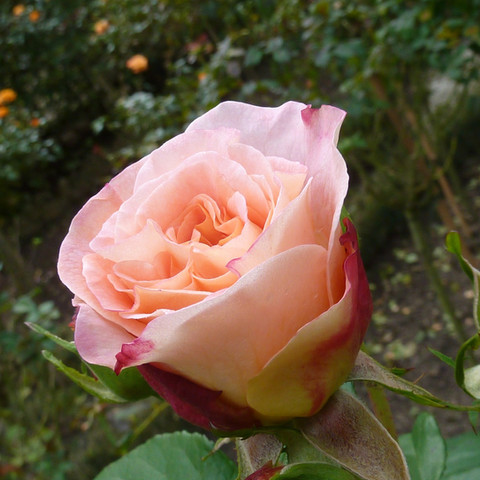 roses-2844521_1920.jpg