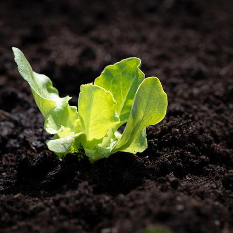 lettuce-seedling-4134906_1920.jpg