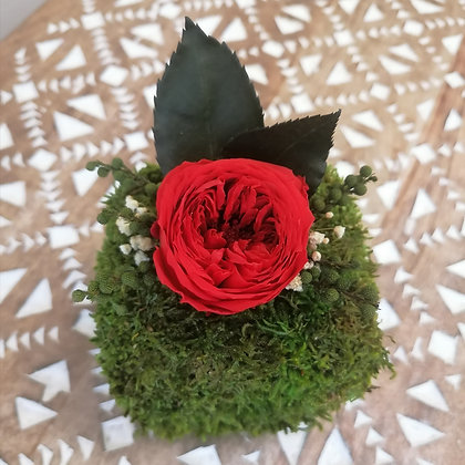 Red english rose on moss