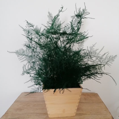 Preserved asparagus fern plant