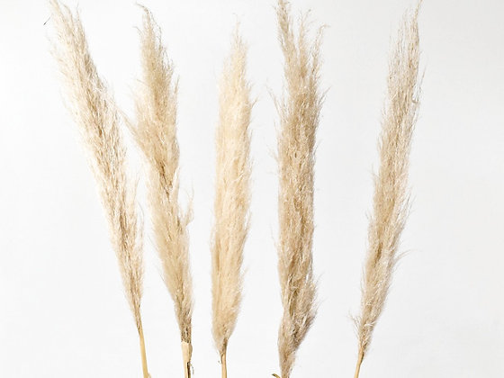 Pampas grass 110 cm - 5 stems