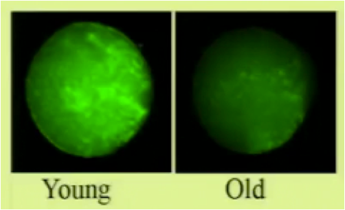 Young and Old Oocyte Mitochondrial Content
