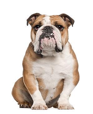English Bulldog, 5 years old, sitting ag