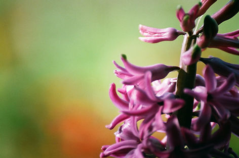Purple Hyacinth Close Up