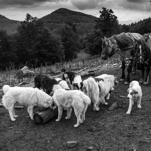 Les chiens des bergers