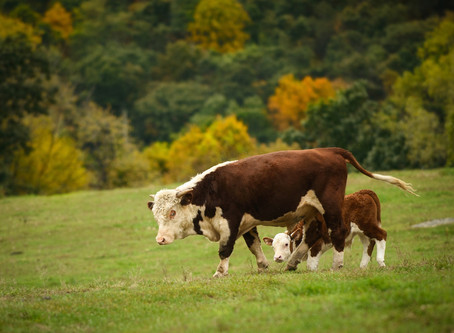 A Cow's Tale