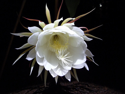Kadupul (Epiphyllum)01.jpg