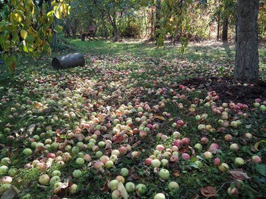 Яблоки дарим!