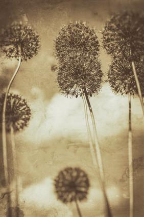 Allium Dance