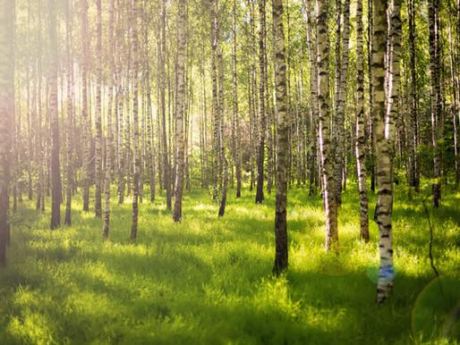 Birch Trees & Sustainability