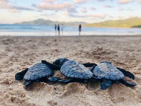 STORIES #22+23: THE TURTLE NUTS OF THE VONU TREE & HOW THE WOMEN SAVED GUAM