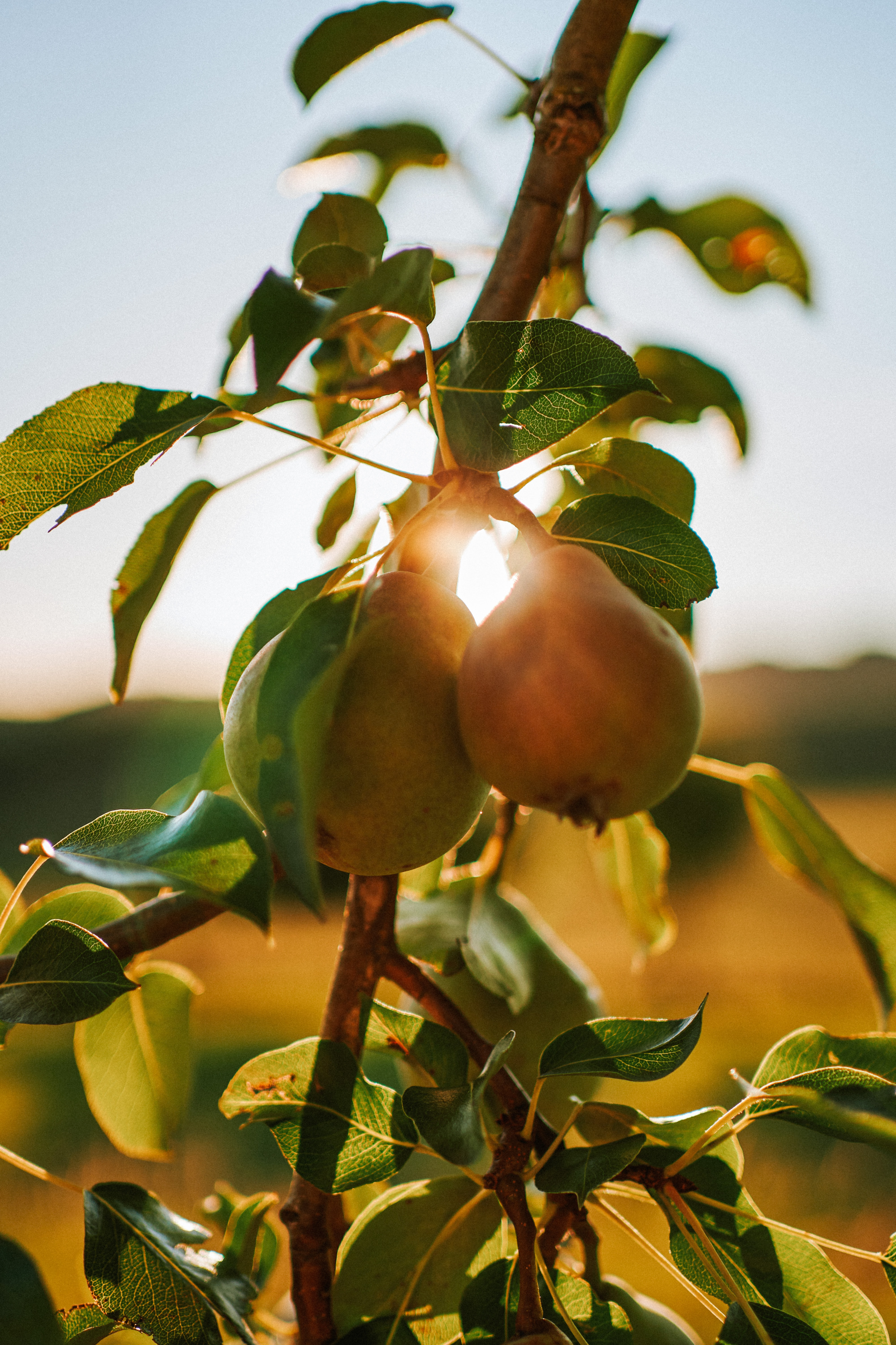 Apple - The Golden Apple Tree and the Nine Pea Hens