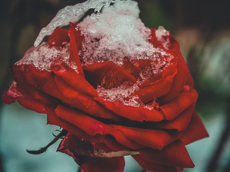 STORY #17: SNOW WHITE AND ROSE RED