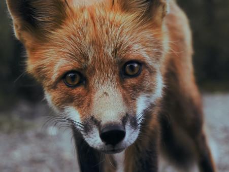FAIRYTRAILS #3: Fox