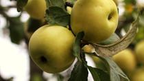 FAIRYTRAILS #2: Apple
